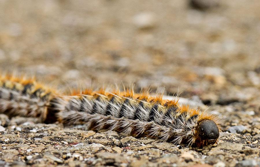 Processionary caterpillar close up